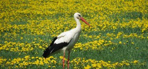 Storch auf einer Blumenwiese