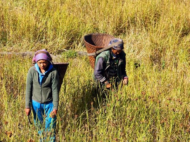 Einheimische ernten die verschiedenen Getreidesorten