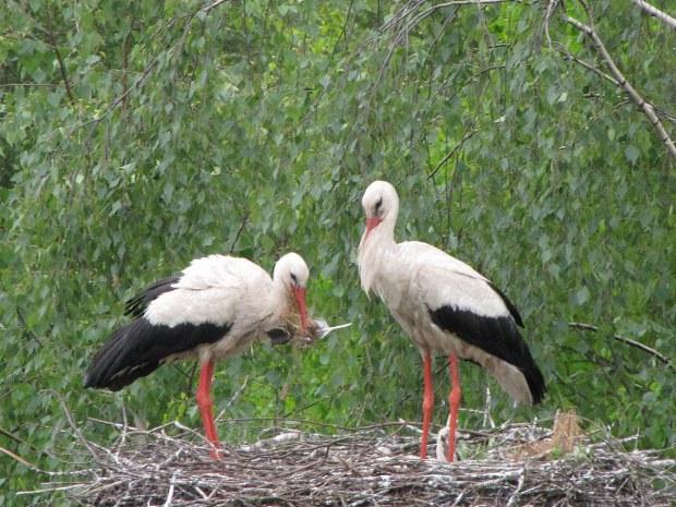 Storchenfamilie baut ihr Nest auf