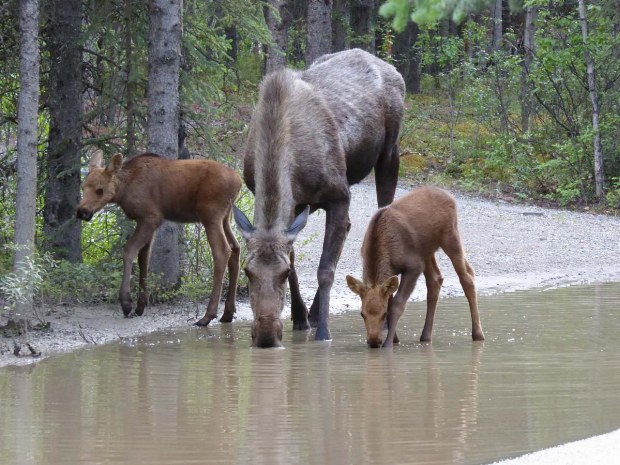 Elche trinken im Fluss