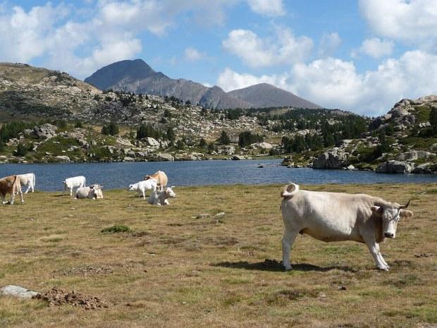Kühe grasen auf der Wiese vor einem Bergsee